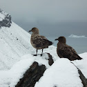 Subantarctic Skua