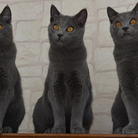Three sisters by Serge Ostrogradsky - Animals - Cats Kittens ( kitten, chartreux, three sisters )