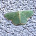 White-barred Emerald Moth (Geometrid)