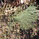 Woolly Lipfern
