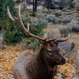 Worn Out Warrior by Laura Gardner - Novices Only Wildlife ( idaho, 2014, nd, elk, fall )