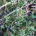 Creeping juniper
