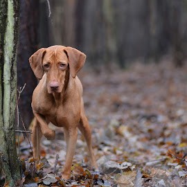Bodza by Szepesvari Csaba - Animals - Dogs Playing ( vizsla nikon )