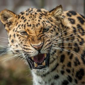 Snarl by Darren Whiteley - Animals Lions, Tigers & Big Cats ( big cat, wild, zoo, teeth, leopard,  )