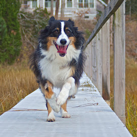 run Drake by Russell Frayre - Animals - Dogs Running ( drake, pippa, beach, dog, 4 star )