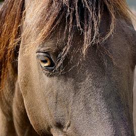 The Eye Has It by Barbara Brock - Animals Horses ( brown horse, horse head, golden eye, horse eye )