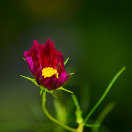 Cosmo by Tracey Doak - Novices Only Flowers & Plants ( new, red, cosmo, summer, flower, fall, color, colorful, nature )
