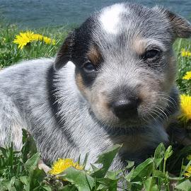 Remington by Cynthia Potter Nichols - Animals - Dogs Puppies ( pet portrait, blue heeler puppy, pet photography, puppies, dogs, acd puppies, acd's, blue heeler,  )