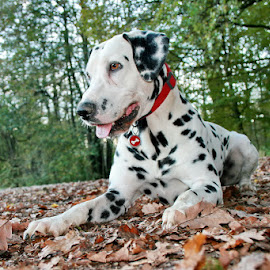 Dalmatian Bol by Boštjan Henigman - Animals - Dogs Portraits ( dalamtian dog )