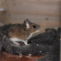 White-footed Deermouse