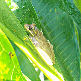 Frog 6 by Cindy Brown - Animals Amphibians (  )