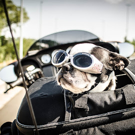 On the road with dad by Jacques Mongis - Animals - Dogs Portraits