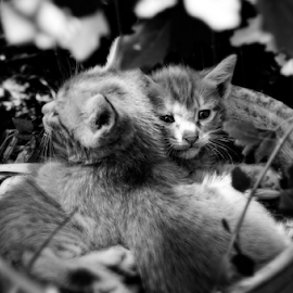 by Javad Abedinifar - Animals - Cats Kittens ( black and white, animal )