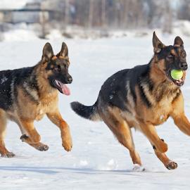 Run and chase by Mia Ikonen - Animals - Dogs Playing ( chasing, finland, fun, german shepherd, running )