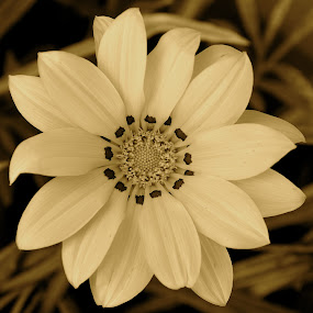 Pretty No Matter What Color by Ed Hanson - Black & White Flowers & Plants ( b&w, close-up, flower )