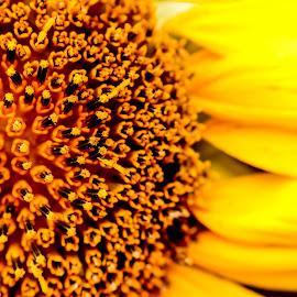Sunflower by Carol Plummer - Abstract Macro ( abstract, macro, nature, sunflower, flower )