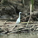 Little Blue Heron(juvenile)