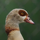 Egyptian Goose (domestic)