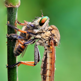 The Predator by Kuswarjono Kamal - Animals Insects & Spiders