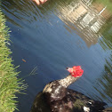 Muscovy Duck (domestic)