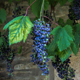 not ready by Vibeke Friis - Nature Up Close Gardens & Produce ( hanging, grapes, bunch,  )