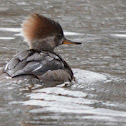 Hooded Merganser- Hen