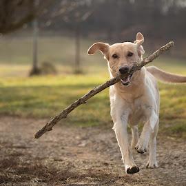 Fetch by Troy Wheatley - Animals - Dogs Playing ( fetch, stick, retrieve, dog, labrador )