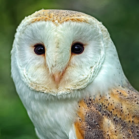 Beautiful Barn Owl by Alex Graeme - Animals Birds ( barn owl, owl )