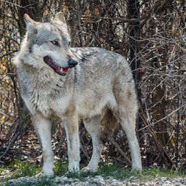 Grey Wolf by OssO SetteSei - Novices Only Wildlife ( canine, beast, predator, wild, canis, nature, wolf, lupus, wildlife, grey, mammal, animal )
