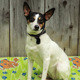 Darla Joy by Tonya Sheetz - Animals - Dogs Portraits ( animals, dogs, dog, portrait, animal )