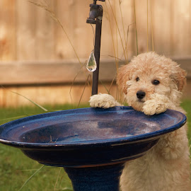 Riley, the 10 week old Golden Doodle. by Todd Leech - Animals - Dogs Puppies (  )