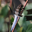 Common Whitetail or Long-tailed Skimmer