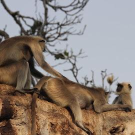 Langur by Rohit Lamba - Novices Only Wildlife ( langur )