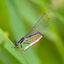Fragile forktail (female)