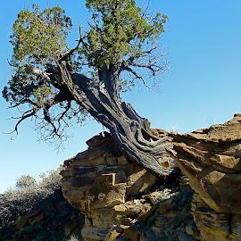 Survivor by Hunter Ten Broeck - Landscapes Deserts ( desert, juniper, survivor, hiking, new mexico )