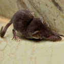 Asian house shrew, Grey musk shrew, Asian musk shrew, or Money shrew, Musk-rat