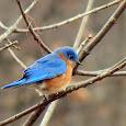Beautiful bluebirds of the SE