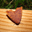 Scalloped Sallow