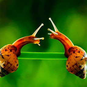🐌🐌🐌 by Firmansyah Goma - Animals Amphibians ( siput,  )