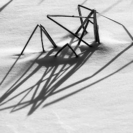 Winter spiderweb by Pierre Tessier - Nature Up Close Leaves & Grasses ( grasses, winter, cold, black and white, snow, shadows,  )