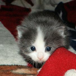 Cute Kitten by Bill Gorman - Animals - Cats Kittens ( angel, cat, kitten, pets, baby, feline,  )