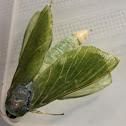 Puriri Moth