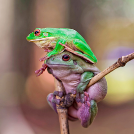 Stacked.... by Vincent Sinaga - Animals Amphibians ( stacked, frog, green, amphibian, animal )