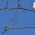 White Hawk and Red lored Parrot