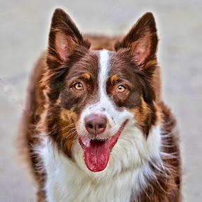 Australian Shepherd show dog by Sandy Scott - Animals - Dogs Portraits ( canine, shepherd, show dog, dog portrait, australian shepherd, dog,  )