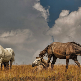 by Hamos Gyozo - Animals Horses ( mountains, horse, cloud )