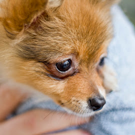 Doge by Drew Tricaso - Animals - Dogs Puppies ( animals, puppy, dog, small dog, close up )