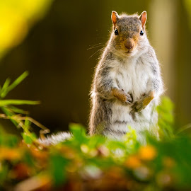 The look out  by Martin Tyson - Animals Other ( uk, park, gray, small, squirrel, animal )