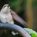 Female Ruby Throated Hummingbird