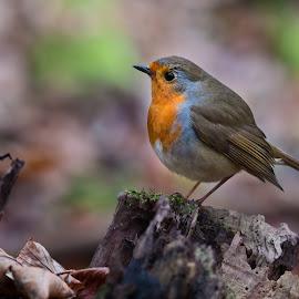 Red Robin by Carlos Reyes - Animals Birds